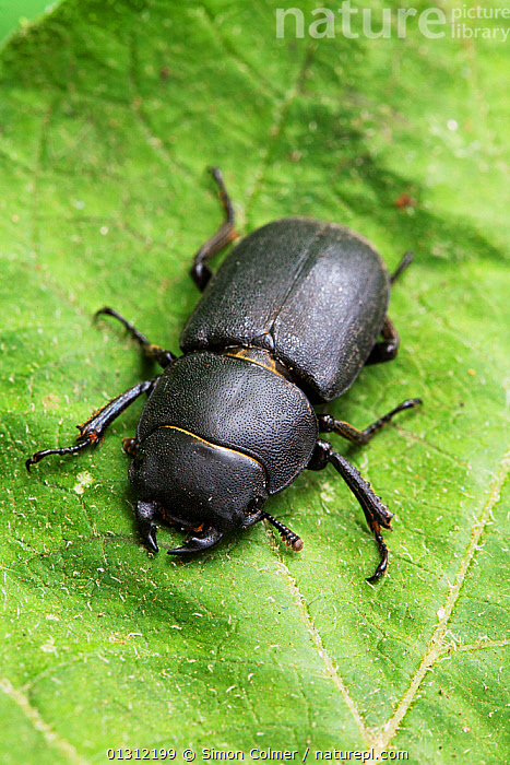 Lesser stag beetle (Dorcus parallelopipedus) on leaf, Sussex, UK, July, BEETLES,CLOSE UPS,COLEOPTERA,ENGLAND,INSECTS,INVERTEBRATES,LEAVES,STAG BEETLES,SUMMER,UK,VERTICAL,Europe,United Kingdom, Simon Colmer