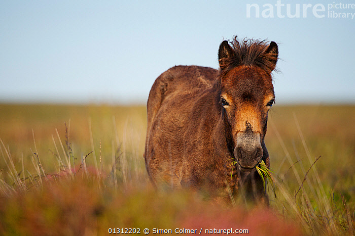 Exmoor Pony (Equus caballus) portrait, grazing on moorland, Dunkery and Horner Woods National Nature Reserve, Somerset, UK, August, ENGLAND,FEEDING,HORSES,MAMMALS,MOORLAND,PERISSODACTYLA,PORTRAITS,RESERVE,SUMMER,UK,VERTEBRATES,Europe,United Kingdom, Simon Colmer