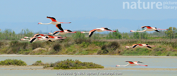 Small flock of Greater flamingos (Phoenicopterus ruber) flying low over a lagoon in Camargue. France, May.  ,  BIRDS,ETANGS,EUROPE,FLAMINGOS,FLYING,FRANCE,FRESHWATER,GROUPS,LAGOONS,LAKES,NINE,PANORAMIC,PHOENICOPTERIDAE,VERTEBRATES,WETLANDS  ,  Nick Upton