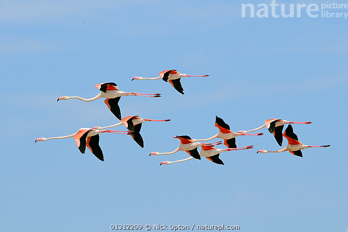 Small flock of Greater flamingos (Phoenicopterus ruber) flying overhead in formation against a blue sky. Camargue. France, May., BIRDS,EUROPE,FLAMINGOS,FLYING,FRANCE,GROUPS,NINE,PHOENICOPTERIDAE,VERTEBRATES, Nick Upton