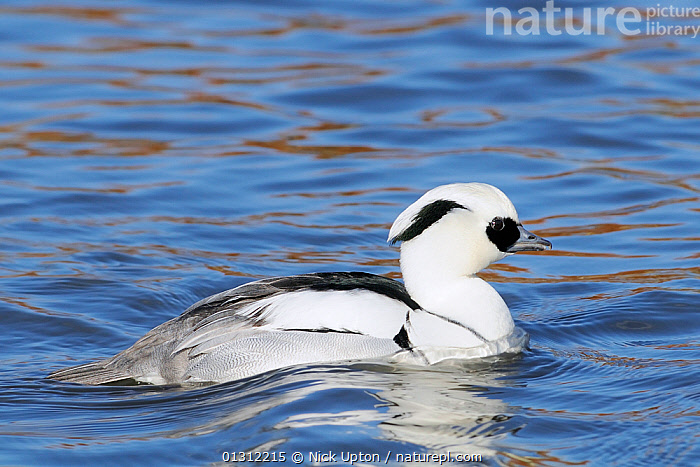 Male Smew (Mergus albellus) swimming. Captive, WWT, Slimbridge, Gloucestershire, March., ANATIDAE,BIRDS,DRAKE,DUCKS,MALES,PORTRAITS,PROFILE,RESERVES,RIPPLES,VERTEBRATES,WATER,WATERFOWL, Nick Upton