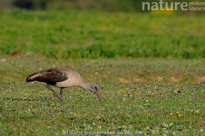 Hadeda Ibis (Bostrychia hagedash) foraging on grassland, deHoop Nature Reserve, Western Cape, South Africa, August, AFRICA,BIRDS,FORAGING,IBISES,RESERVE,SOUTH AFRICA,THRESKIORNITHIDAE,VERTEBRATES, Tony Phelps