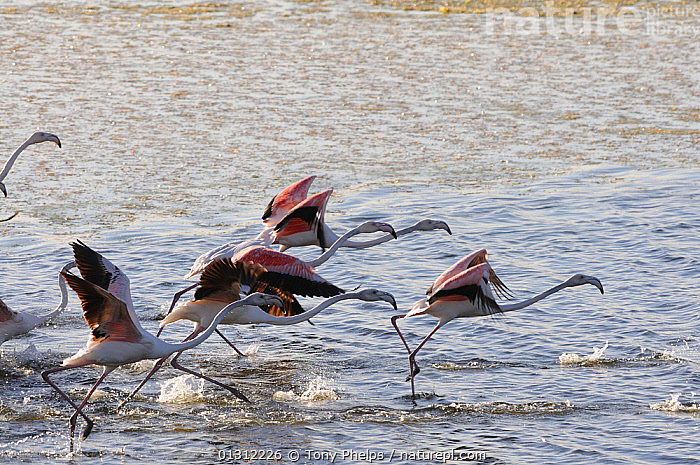 Flock of Greater Flamingos (Phoenicopterus ruber) taking off from lake, deHoop Vlei, Ramsar Site, Wesrtern Cape, South Africa, August, AFRICA,BIRDS,COASTAL,FLAMINGOS,FLOCKS,LAKES,SOUTH AFRICA,TAKE OFF,VERTEBRATES,WATER,SOUTHERN AFRICA, Tony Phelps