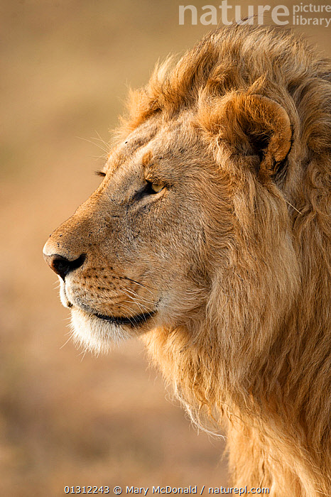 African Lion (Panthera leo) head portrait of male, in the grasses of Lower Mara in the Masai Mara Game Reserve, Kenya, AFRICA,BIG CATS,CARNIVORES,EAST AFRICA,GRASSLAND,LIONS,MALES,MAMMALS,PORTRAITS,PROFILE,RESERVE,VERTEBRATES,VERTICAL, Mary McDonald