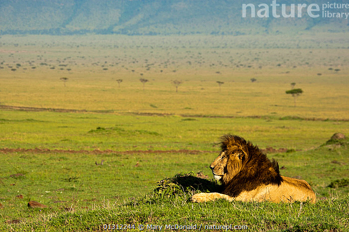 African Lion (Panthera leo) male lying in grassland of Mara Triangle, Masai Mara Game Reserve, Kenya, AFRICA,BIG CATS,CARNIVORES,EAST AFRICA,GRASSLAND,LANDSCAPES,LIONS,MALES,MAMMALS,PORTRAITS,PROFILE,RESERVE,SAVANNA,VERTEBRATES, Mary McDonald
