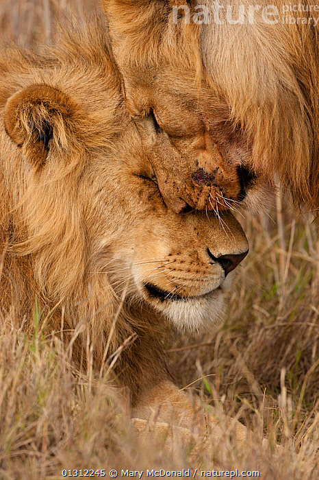 African Lions (Panthera leo)  two juvenile males greeting, Masai Mara Game Reserve, Kenya, AFRICA,BIG CATS,CARNIVORES,CLOSE UPS,COMMUNICATION,EAST AFRICA,FRIENDS,GROOMING,GROUPS,JUVENILE,LIONS,MALES,MAMMALS,PORTRAITS,RESERVE,VERTEBRATES,VERTICAL, Mary McDonald