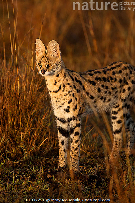 Serval (Leptailurus serval) in tall grasses in Upper Mara, Masai Mara Game Reserve, Kenya, AFRICA,CARNIVORES,CATS,EAST AFRICA,FELIS SERVAL,HUNTING,MAMMALS,PREDATION,RESERVE,STALKING,VERTEBRATES,VERTICAL,Behaviour, Mary McDonald