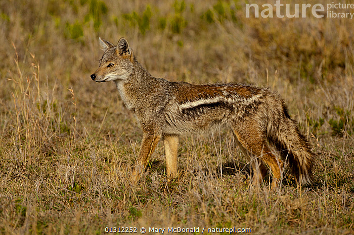 Side-striped Jackal (Canis adustus) standing in grassland, Kopjes, Serengeti National Park, Tanzania  ,  AFRICA,CAMOUFLAGE,CANIDS,CARNIVORES,EAST AFRICA,JACKALS,MAMMALS,PORTRAITS,PROFILE,RESERVE,STANDING,VERTEBRATES,Dogs,,Serengeti National Park, UNESCO World Heritage Site,  ,  Mary McDonald