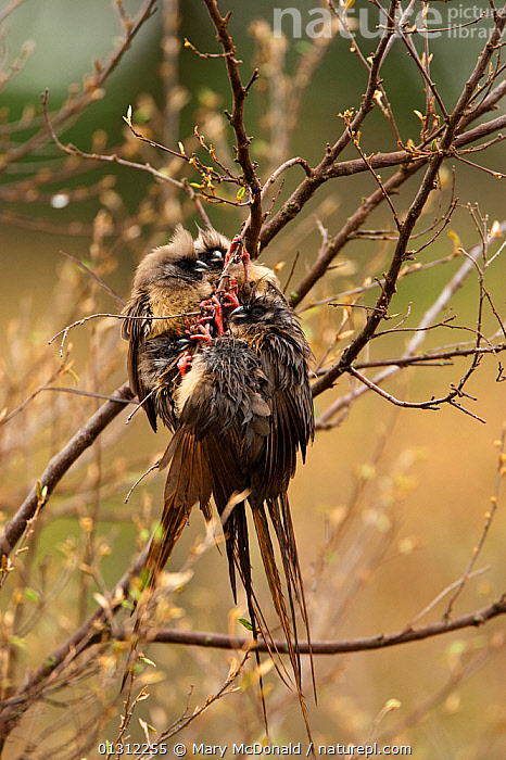 White-headed Mousebirds (Colius leucocephalus) clustered together in tree to keep warm in the Upper Mara, Masai Mara Game Reserve, Kenya, AFRICA,bedraggled,BEHAVIOUR,BIRDS,BRANCHES,catalogue3,close up,CLOSE UPS,COLD,EAST AFRICA,Game Reserve,GROUPS,Kenya,Masai Mara,MOUSEBIRDS,Nobody,outdoors,RESERVE,small group,small group of animals,THERMOREGULATION,three animals,Tree,Upper Mara,VERTEBRATES,VERTICAL,wet,WOODLANDS, Mary McDonald