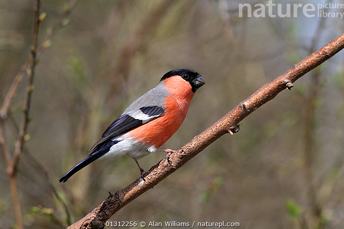 Male Bullfinch (Pyrrhula pyrrhula) perched on branch in woodland, Cheshire, England, UK, April 2010  ,  BIRDS,ENGLAND,FINCHES,MALES,SONGBIRDS,UK,VERTEBRATES,WOODLANDS,Europe,United Kingdom  ,  Alan Williams