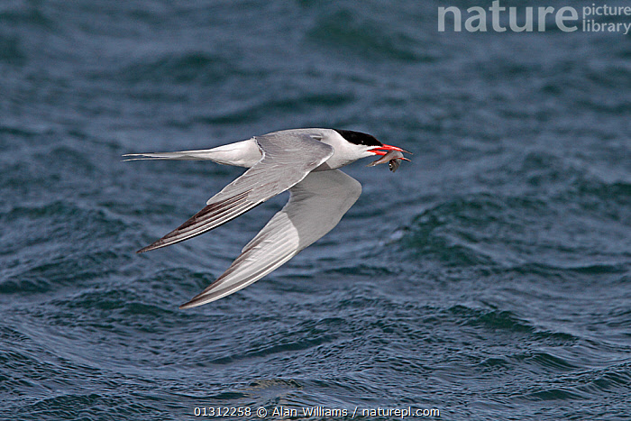 Common Tern (Sterna hirundo) flying low over sea with fish prey, Cemlyn Bay, Anglesey, North Wales, UK, July 2010, BIRDS,FISH,FISHING,FLYING,SEABIRDS,TERNS,UK,VERTEBRATES,WALES,WATER,Europe,United Kingdom, Alan Williams