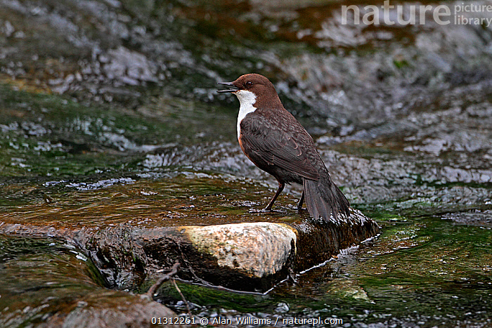 Dipper (Cinclus cinclus) singing perched on rock in stream, North Wales, UK, April 2010, BEHAVIOUR,BIRDS,CALLING,DIPPERS,SONGBIRDS,SPRING,STREAMS,UK,VERTEBRATES,VOCALISATION,WALES,Europe,United Kingdom, Alan Williams