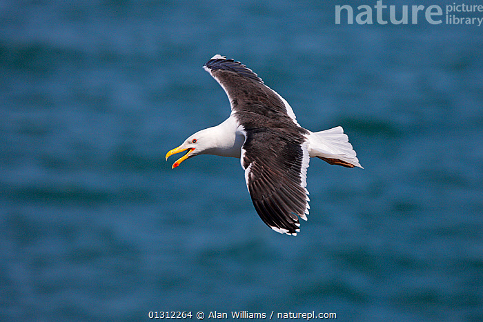 Great Black-backed Gull (Larus marinus) calling in flight, Puffin Island, North Wales, UK, June 2010, BIRDS,CALLING,FLYING,GREAT BLACK BACKED GULL,GULLS,SEABIRDS,SUMMER,UK,VERTEBRATES,VOCALISATION,WALES,Europe,United Kingdom, Alan Williams