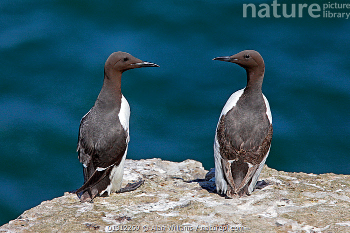 Guillemots (Uria aalge) on cliff-top, Puffin Island, North Wales, UK, June 2010, AUKS,BIRDS,CLIFFS,COASTS,COLONIES,FLOCKS,MURRE,SEABIRDS,TWO,UK,VERTEBRATES,WALES,Geology,Europe,United Kingdom, Alan Williams
