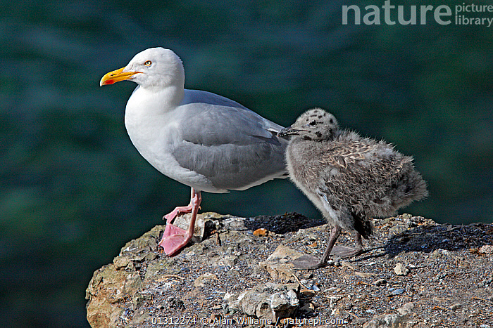 Herring Gull (Larus argentatus) adult with chick on cliff, Puffin Island, North Wales, UK, June 2010, BIRDS,CHICKS,CLIFFS,COASTS,FAMILIES,GULLS,SEABIRDS,UK,VERTEBRATES,WALES,Geology,Europe,United Kingdom, Alan Williams