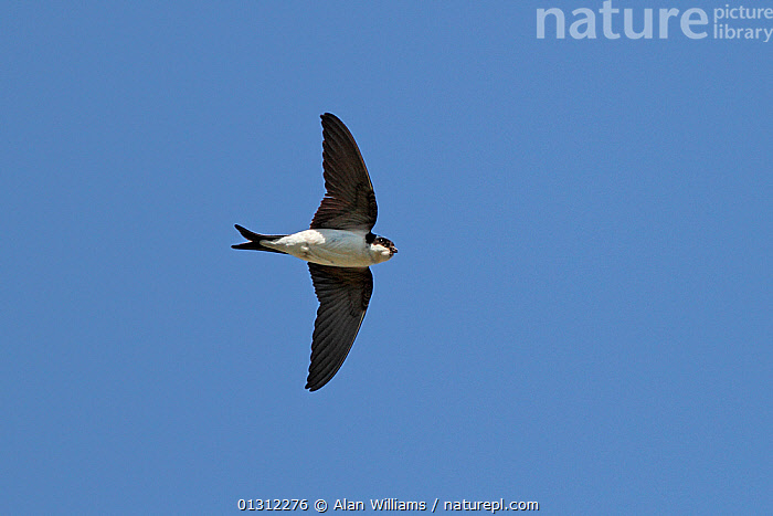 House Martin (Delichon urbicum) in flight with crop and beak full with insects, Cheshire, England, UK, June 2010, BEHAVIOUR, BIRDS, FLYING, FORAGING, NESTS, songbirds, SUMMER, SWALLOWS, UK, VERTEBRATES, WALES,Europe,United Kingdom, Alan Williams