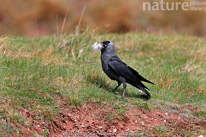 Jackdaws (Corvus monedula) collecting wool for nest material, North Wales, UK, April 2010, BEHAVIOUR,BIRDS,CORVIDS,CROWS,GATHERING,NESTING,NESTS,SHEEP,SONGBIRDS,UK,VERTEBRATES,WALES,Europe,United Kingdom, Alan Williams