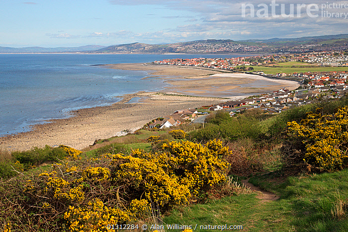 Penrhyn Bay looking east from Little Orme, North Wales, UK, April 2010  ,  BEACHES,BUILDINGS,COASTS,COUNTRYSIDE,EUROPE,FLOWERS,GORSE,LANDSCAPES,SPRING,TOWNS,UK,WALES,United Kingdom  ,  Alan Williams