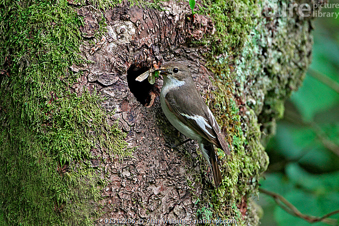 Female Pied Flycatcher (Ficedula hypoleuca) at nest hole in Beech tree (Fagus sp.) with insect prey, North Wales, UK, June 2010, BIRDS,FEEDING,FEMALES,FLYCATCHERS,INSECTS,NESTS,PARENTAL,SONGBIRDS,UK,VERTEBRATES,WALES,WOODLANDS,Invertebrates,Europe,United Kingdom, Alan Williams