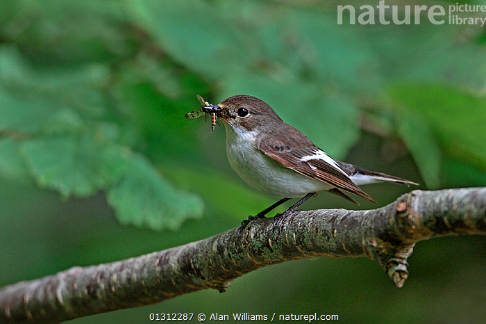 Female Pied Flycatcher (Ficedula hypoleuca) with insect prey  for chicks, in woodland, North Wales, UK, June 2010, BEHAVIOUR,BIRDS,FEMALES,FLYCATCHERS,INSECTS,PARENTAL,SONGBIRDS,SUMMER,UK,VERTEBRATES,WALES,WOODLANDS,Invertebrates,Europe,United Kingdom, Alan Williams