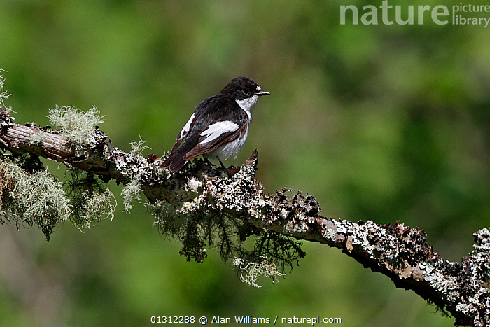 Male Pied Flycatcher (Ficedula hypoleuca) perched on lichen covered branch, in woodland, North Wales, UK, June 2010, BIRDS,FLYCATCHERS,LICHEN,MALES,SONGBIRDS,SUMMER,UK,VERTEBRATES,WALES,WOODLANDS,Europe,United Kingdom, Alan Williams