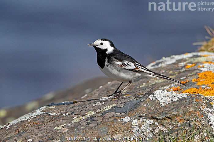 Pied Wagtail (Motacilla alba) standing on lichen covered rock by lake on moorland, Denbigh Moors, North Wales, UK, April 2010, BIRDS,WAGTAILS,LICHEN,ROCKS,SONGBIRDS,UK,VERTEBRATES,WALES,WOODLANDS,Europe,United Kingdom, Alan Williams