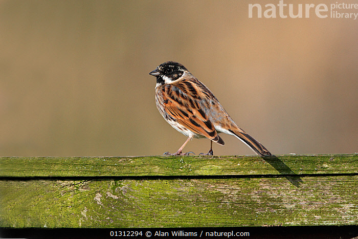 Male Reed Bunting (Emberiza schoeniclus) perched on garden fence, Cheshire, England, UK, March 2010, BIRDS,BUNTINGS,GARDENS,MALES,SONGBIRDS,UK,VERTEBRATES,WALES,WINTER,Europe,United Kingdom, Alan Williams