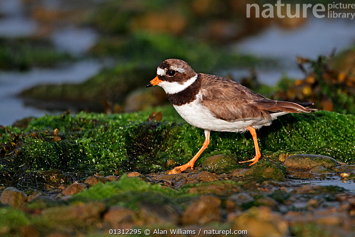Ringed Plover (Charadrius hiaticula) running on beach in evening light, Cemlyn Bay, Anglesey, North Wales, UK, July 2010, BEACHES,BIRDS,COASTS,DUSK,PLOVERS,RUNNING,SUMMER,UK,VERTEBRATES,WADERS,WALES,Europe,United Kingdom, Alan Williams