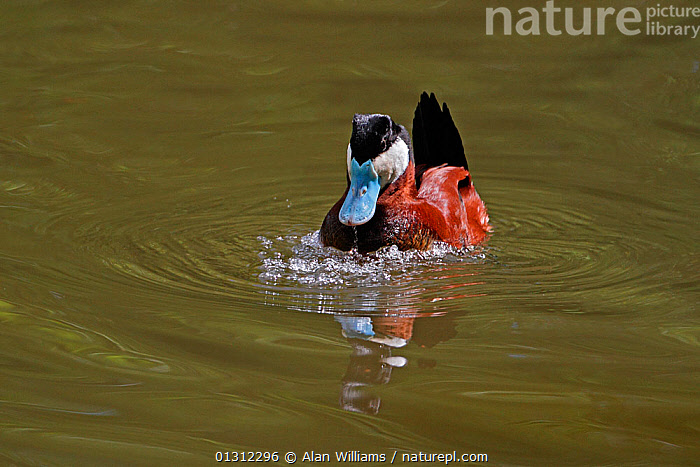Male Ruddy Duck (Oxyura jamaicensis) displaying on lake expelling air from breast feathers to form bubbles (captive bird) UK, May 2010, animal marking,BEHAVIOUR,BIRDS,bubbles,captive animal,catalogue3,close up,CLOSE UPS,COURTSHIP,DISPLAY,displaying,DUCKS,front view,full length,Lake,male animal,MALES,Nobody,one animal,outdoors,puffed up,SUMMER,UK,VERTEBRATES,WALES,WATER,WATERFOWL,WILDLIFE,Communication,Europe,United Kingdom, Alan Williams