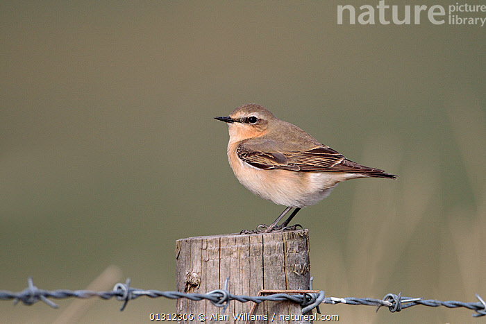 Female Wheatear (Oenanthe oenanthe) sitting on fence post, Denbigh Moors, North Wales, UK, April 2010, BARBED WIRE,BIRDS,FEMALES,FENCING ,SONGBIRDS,SPRING,UK,VERTEBRATES,WALES,WHEATEARS,WIRE,Europe,United Kingdom,Chats, Alan Williams