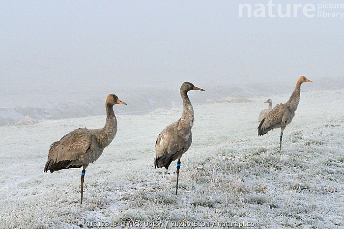 Common / Eurasian cranes (Grus grus) three juveniles standing on frost covered ground, with one foot held to their chests for warmth, released by the Great Crane Project onto the Somerset Levels and Moors, Somerset, UK, December 2010.  ,  2020VISION,BIRDS,COLD,CONSERVATION,CRANES,ENGLAND,EUROPE,FLOCKS,FROST,GRASSLAND,GROUPS,REHABILITATION,reintroduced,RESEARCH,SCIENCE,UK,VERTEBRATES,WETLANDS,WINTER,YOUNG,Weather,United Kingdom  ,  Nick Upton / 2020VISION