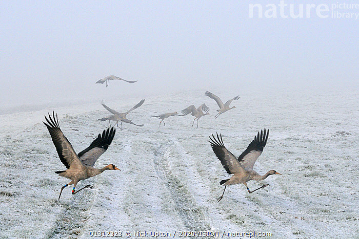 Common / Eurasian cranes (Grus grus) small flock of juveniles taking flight over the frozen, snow covered pastureland on a foggy winter morning. These  Cranes were released by the Great Crane Project onto the Somerset Somerset, UK, December 2010., 2020VISION,bad weather,BIRDS,CATALOGUE2,COLD,CONSERVATION,CRANES,departure,ENGLAND,EUROPE,Field,flock of birds,FLOCKS,focus on foreground,Fog,Following,FROST,Frozen,GRASSLAND,Great Crane Project,group of animals,GROUPS,Imprint,JUVENILE,medium group of animals,meteorology,misty,Morning,nature,Nobody,on the move,outdoors,Pastureland,REHABILITATION,reintroduced,RESEARCH,RUNNING,SCIENCE,selective focus,side view,SNOW,Somerset,TAKE OFF,taking off,tyre track,UK,VERTEBRATES,WILDLIFE,wings spread,WINTER,YOUNG,Weather,United Kingdom,Nature reclamation, Nick Upton / 2020VISION