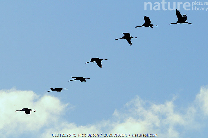 Seven Juvenile Common / Eurasian cranes (Grus grus) in flight, recently released by the Great Crane Project, some with radiotransmitter aerials visible, Somerset, UK, November 2010.  ,  2020VISION,ABSTRACT,BIRDS,BLUE,CLOUDS,CONSERVATION,CRANES,ENGLAND,EUROPE,FLOCKS,FLYING,GROUPS,JUVENILE,PATTERNS,radio tracking,REHABILITATION,reintroduced,RESEARCH,SCIENCE,SILHOUETTES,SKY,UK,VERTEBRATES,WETLANDS,YOUNG,Weather,United Kingdom  ,  Nick Upton / 2020VISION
