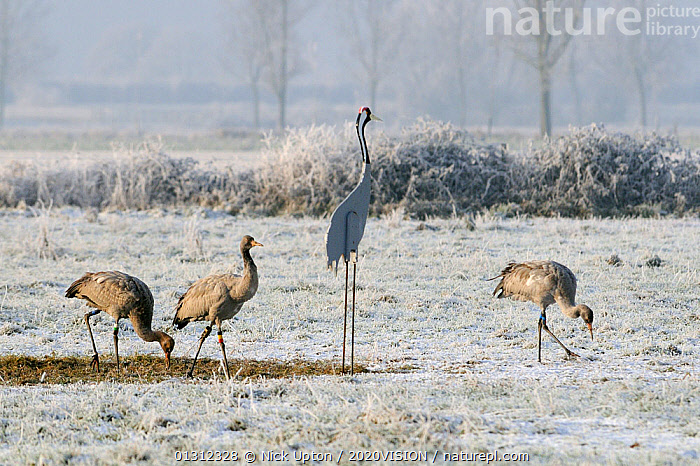 Three juvenile Common / Eurasian cranes (Grus grus) released by the Great Crane Project onto the Somerset Levels, feeding alongside cut-out model of an adult bird on frozen, snow covered pastureland on a cold winter day. Somerset, UK, December 2010.  ,  2020VISION,BIRDS,CONSERVATION,CRANES,decoys,ENGLAND,EUROPE,FEEDING,FLOCKS,FORAGING,FROST,GRASSLAND,GROUPS,JUVENILE,REHABILITATION,reintroduced,RESEARCH,SCIENCE,SNOW,UK,VERTEBRATES,WINTER,YOUNG,Weather,United Kingdom  ,  Nick Upton / 2020VISION
