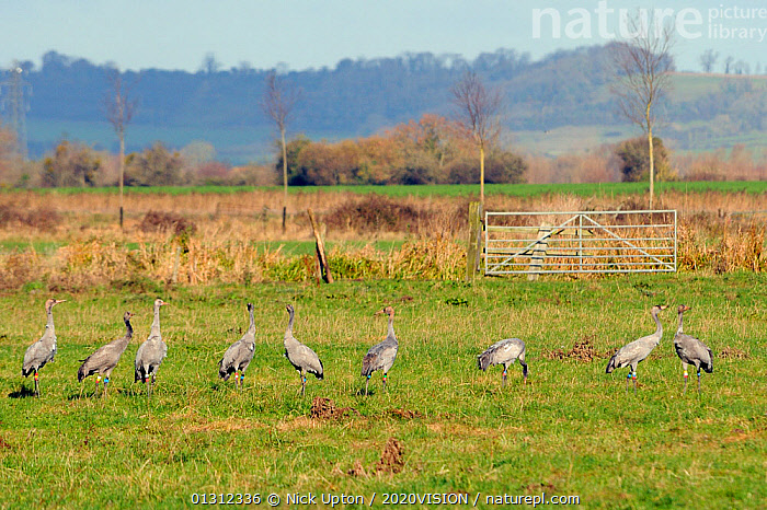 Nine Juvenile Common / Eurasian cranes (Grus grus) recently released by the Great Crane Project onto the Somerset Levels and Moors reacting to a helicopter flying overhead. Somerset, UK, November 2010.  ,  2020VISION,BIRDS,CONSERVATION,CRANES,ENGLAND,EUROPE,fences,FLOCKS,gates,GRASSLAND,GROUPS,MARSHES,REHABILITATION,reintroduced,RESEARCH,TREES,UK,VERTEBRATES,WETLANDS,YOUNG,PLANTS,United Kingdom  ,  Nick Upton / 2020VISION