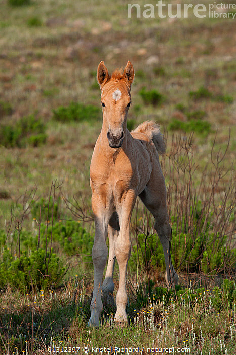 Feral domestic horses (Equus caballus) young wild colt, Blue Swallow Reserve, near Kaapsehoop, Mpumalanga province / Eastern Transvaal, South Africa, October 2010  ,  AFRICA,BABIES,CUTE,FERAL,GROUPS,HERD,HORSES,MAMMALS,PERISSODACTYLA,SOUTH AFRICA,VERTEBRATES,VERTICAL,WILD,Equines  ,  Kristel Richard
