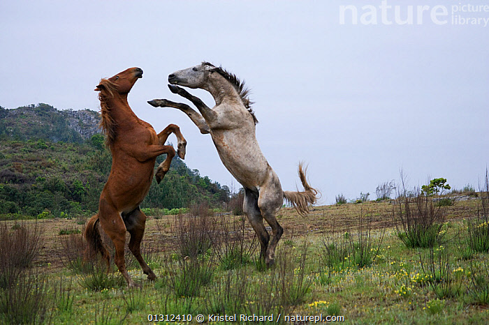 Feral domestic horses (Equus caballus) wild herd stallion (grey) fighting a bachelor chestnut stallion,  Blue Swallow Reserve, near Kaapsehoop, Mpumalanga province / Eastern Transvaal, South Africa, October 2010  ,  ACTION,AFRICA,AGGRESSION,animals in the wild,BEHAVIOUR,Blue Swallow Reserve,BROWN,catalogue3,competition,Conflict,Eastern Transvaal,face to face,feral,FIGHTING,herd,hind legs,HORSES,Kaapsehoop,male animal,MALES,MAMMALS,Mpumalanga province,nature,Nobody,outdoors,PERISSODACTYLA,rear legs,rearing,rivalry,South africa,SOUTH AFRICA,stallion,STANDING,TERRITORIAL,two animals,VERTEBRATES,Wild,Equines  ,  Kristel Richard