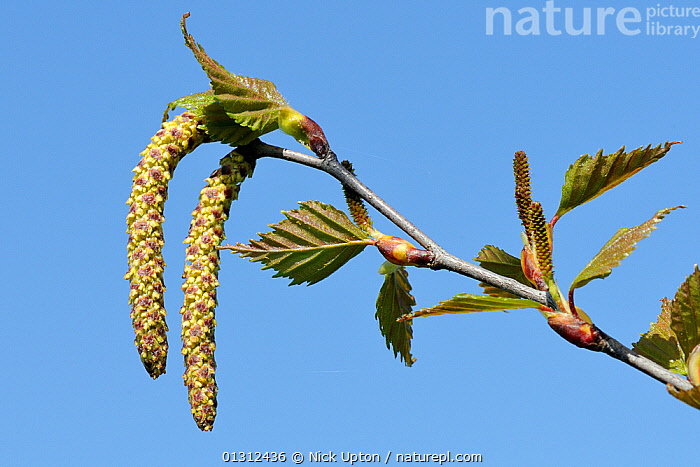 Pendulous male and erect young female catkins of Silver birch tree (Betula pendula) Wiltshire, UK, April.  ,  BETULACEAE,BLUE,CATKINS,DICOTYLEDONS,ENGLAND,FEMALES,FLOWERS,LEAVES,MALES,PLANTS,SKY,SPRING,TREES,UK,Europe,United Kingdom  ,  Nick Upton