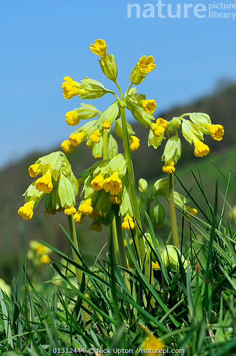 Cowslips (Primula veris) flowering on a hillside hay meadow. Gloucestershire, UK, April.  ,  CLOSE UPS,DICOTYLEDONS,ENGLAND,FLOWERS,GRASSLAND,LEAVES,MEADOWLAND,ORGANIC,PLANTS,PRIMULACEAE,SKY,SPRING,UK,VERTICAL,YELLOW,Europe,United Kingdom  ,  Nick Upton