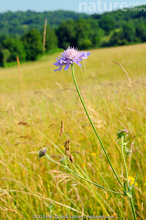 Field scabious (Knautia arvensis) in a traditional organic hay meadow. Gloucestershire, UK, June.  ,  COUNTRYSIDE,DICOTYLEDONS,DIPSACACEAE,ENGLAND,FARMLAND,FLOWERS,GRASSES,GRASSLAND,LEAVES,MEADOWLAND,PLANTS,PURPLE,SKY,SUMMER,UK,VERTICAL,Europe,United Kingdom  ,  Nick Upton