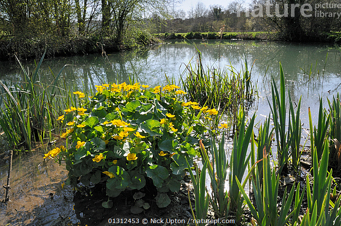 Marsh marigold / King cup (Caltha palustris) clump flowering near the margins of a stream. Wiltshire, UK, April.  ,  DICOTYLEDONS,ENGLAND,FLOWERS,FRESHWATER,KINGCUP,PLANTS,RANUNCULACEAE,RIVERS,SPRING,STREAMS,UK,WETLANDS,YELLOW,Europe,United Kingdom  ,  Nick Upton