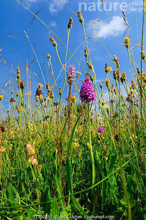 Traditional organic hay meadow with a profusion of wild flowers and grasses including Pyramid orchid (Anacamptis pyramidalis) Common spotted orchid (Dactylorhiza fuchsii, Rough hawkbit (Leontodon hispidus) and Yellow rattle (Rhinanthus minor). Gloucestershire, UK, June.  ,  ASTERACEAE,BIODIVERSITY,BLUE,catalogue3,close up,CLOSE UPS,cloudy,COLOURFUL,Common spotted orchid,Dactylorhiza fuchsii,ENGLAND,FARMLAND,FLOWERS,Gloucestershire,GRASSES,GRASSLAND,hay,June,LEAVES,Leontodon hispidus,meadow,MEADOWLAND,MIXED SPECIES,MONOCOTYLEDONS,nature,Nobody,ORCHIDACEAE,orchids,organic,OROBANCHACEAE,outdoors,PLANTS,POACEAE,PURPLE,Rhinanthus minor,Rough hawkbit,SKY,SPRING,SUMMER,tall grass,TRADITIONAL,UK,VERTICAL,Wildflower,Yellow rattle ,Europe,United Kingdom  ,  Nick Upton