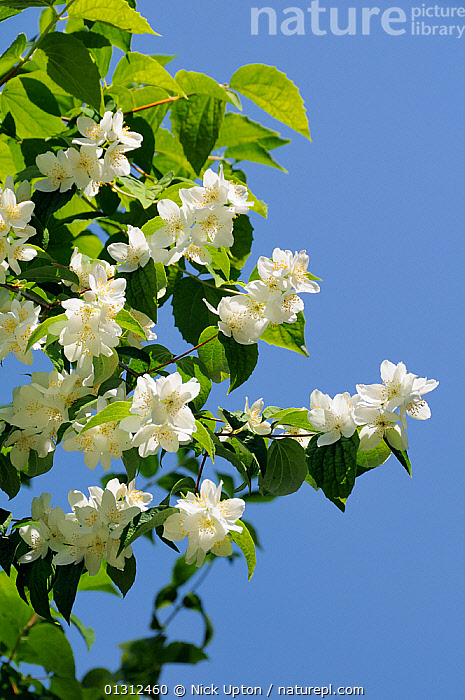 Sweet mock orange (Philadelphus coronarius) blossom. Wiltshire garden, UK, June.  ,  ANTHERS,BLOSSOM,BLUE,BUSHES,CULTIVATED,ENGLAND,EUROPE,FLOWERS,GARDENS,HYDRANGEACEAE,PLANTS,SHRUBS,SKY,SPRING,UK,VERTICAL,WHITE,United Kingdom  ,  Nick Upton