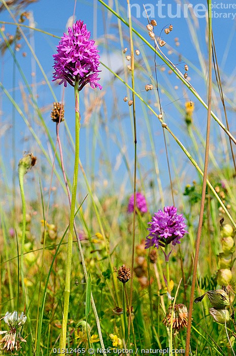 Pyramidal orchid (Anacamptis pyramidalis) flowering in a traditional organic hay meadow alongside Rough hawkbit (Leontodon hispidus) Yellow rattle (Rhinanthus minor, White clover (Trifolium repens) and Quaking grass (Briza media). Gloucestershire, UK, June.  ,  ASTERACEAE,BIODIVERSITY,COLOURFUL,ENGLAND,FARMLAND,FLOWERS,GRASSES,MEADOWLAND,MIXED SPECIES,MONOCOTYLEDONS,ORCHIDACEAE,ORCHIDS,OROBANCHACEAE,PINK,PLANTS,POACEAE,PURPLE,SKY,SPRING,UK,VERTICAL,YELLOW,Europe,Grassland,United Kingdom  ,  Nick Upton