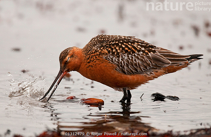 Bar-tailed Godwit (Limosa lapponica baueri) male cleaning its bill after feeding on the exposed shoreline, Varanger Fjord, Arctic Norway. June  ,  ARCTIC,BEHAVIOUR,BIRDS,CLEANING,COASTS,FEEDING,GODWITS,MALES,NORWAY,VERTEBRATES,WADERS,WADING,Europe,Scandinavia  ,  Roger Powell