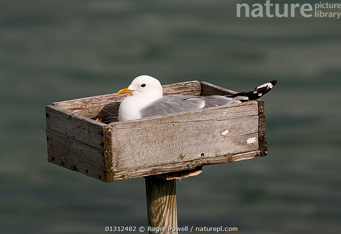 """Common Gull (Larus canus) incubating on purpose built nesting platform. These """"nestboxes"""" were originally placed to encourage gulls to nest near dwellings in order to harvest their eggs as food : but this practice stopped decades ago and the nest boxes now serve to enhance the breeding success of birds in otherwise unfavourable areas Varanger Fjord, Arctic Norway. June  ,  ARCTIC,BEHAVIOUR,BIRDS,COASTS,CONSERVATION,GULLS,NEST BOXES,NEST BOX,NESTS,NORWAY,SEABIRDS,TRADITIONAL,VERTEBRATES,Europe,Scandinavia  ,  Roger Powell"""