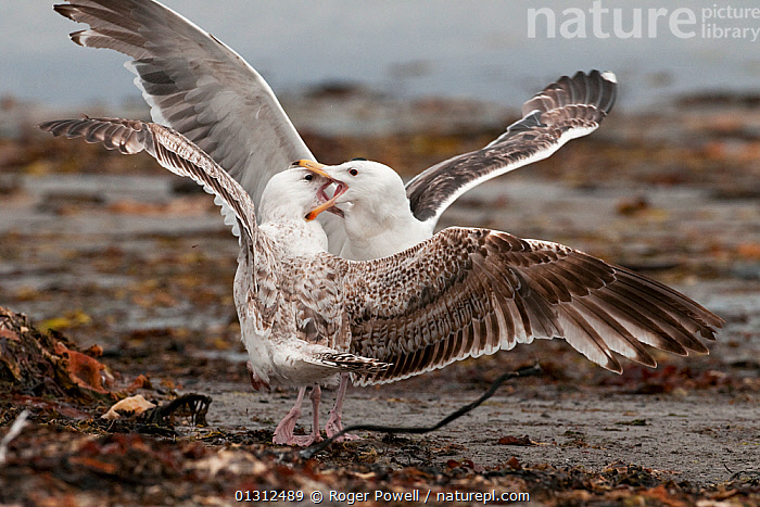 Immature Glaucous Gull (Pluvialis apricaria) fighting an immature Greater Black-backed Gull (Larus marinus), Varanger Fjord, Arctic Norway. June  ,  AGGRESSION,ARCTIC,BIRDS,COASTS,FIGHTING,GULLS,JUVENILE,MIXED SPECIES,NORWAY,SEABIRDS,VERTEBRATES,Concepts,Europe,Scandinavia  ,  Roger Powell