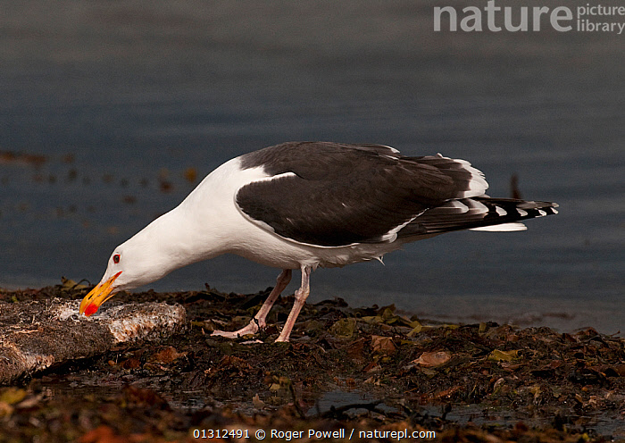Great Black-backed Gull (Larus marinus) feeding from carcass washed onshore, Varanger Fjord, Arctic Norway. June  ,  ARCTIC,BIRDS,COASTS,FEEDING,GREAT BLACK BACKED GULL,GULLS,NORWAY,SEABIRDS,VERTEBRATES,Europe,Scandinavia  ,  Roger Powell
