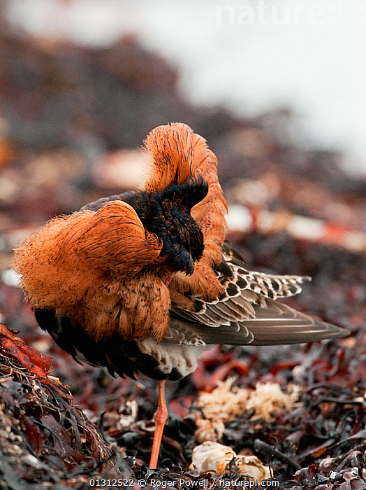 Ruff (Philomachus pugnax) male preening whilst resting on the edge of the feeding area, Varanger fjord, Arctic Norway. June  ,  ARCTIC,BEHAVIOUR,BIRDS,CLEANING,COASTS,COURTSHIP,DISPLAY,FEATHERS,FLOCKS,GROUPS,MALES,MATING BEHAVIOUR,NORWAY,PORTRAITS,PREENING,SANDPIPERS,VERTEBRATES,VERTICAL,WADERS,Communication,Europe,Scandinavia  ,  Roger Powell