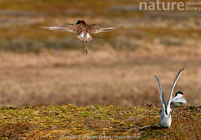 """Ruff (Philomachus pugnax) male """"levitating"""" display to attract the attention of a Reeve (female) out on the marsh, with Arctic Terns (Sterna paradisaea) alongside, Varanger plateau, Arctic Norway. June  ,  ARCTIC,BEHAVIOUR,BIRDS,COASTS,COURTSHIP,DISPLAY,FLOCKS,GROUPS,LEKKING,LEVITATING,MALES,MATING BEHAVIOUR,MIXED SPECIES,NORWAY,SANDPIPERS,STERNA PARADISAEA,VERTEBRATES,WADERS,Communication,Europe,Scandinavia  ,  Roger Powell"""